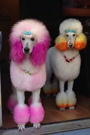 standard poodle hair styles d e s i g n l o v e f e s t fun fact friday 01