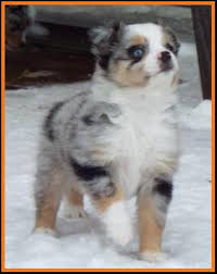 mini australian shepherd 8 weeks ghost eye mini aussie avail xmas 2014 litter 7 pup6 jessie blue