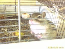 gabbie scoiattoli scoiattoli striati giapponesi catania