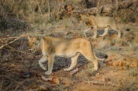 imagenes de leones salvajes gratis fotos gratis naturaleza aventuras fauna silvestre salvaje gato