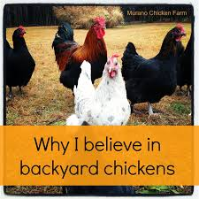 why i believe in backyard chickens murano chicken farm