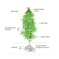how much light do pot plants need how to grow marijuana indoors at home guide for rookies part i