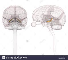 3d Head Anatomy Spinal Cord Brain Anatomy 3d Stock Photos U0026 Spinal Cord Brain