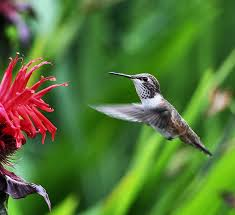 Hummingbird On A Flower - bee hummingbird facts habitat diet life cycle baby pictures