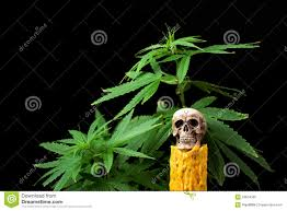 halloween background family skull and green cannabis leaf on black background stock photo