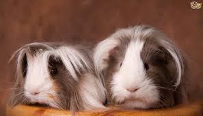guinea pig care pets4homes