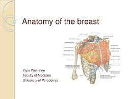 Female Breast Anatomy And Physiology Anatomy Of The Breast