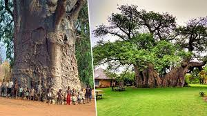 8 oldest tallest and the most majestic trees in the