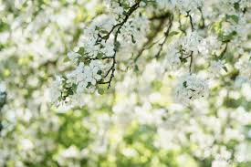 low angle of white apple blossom tree in day stock