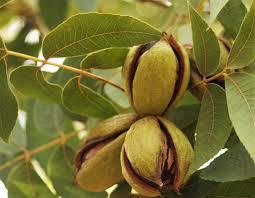 plants native to north texas popular texas pecan varieties to plant u2013 royalty pecan farms