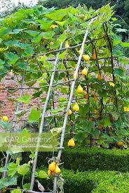 gap gardens willow arbour with climbing ornamental gourds