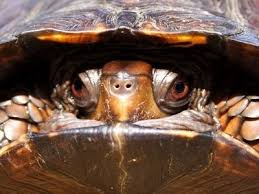 45 best pets images on box turtles box turtle habitat