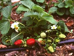 strawberries can be grown in your own backyard the courier