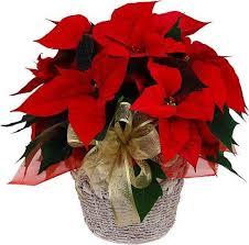 christmas plants christmas plants í húsi blóma flower delivery shop iceland