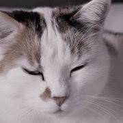 Taking Care Of A Blind Cat Hypertension High Blood Pressure In Cats Cat World