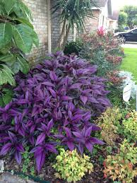 my beautiful persian shield outdoors pinterest persian