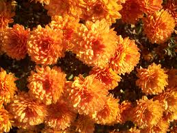 flower yellow mums autumn flowers fall nature close up orange