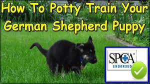 belgian shepherd easy to train how to potty train my german shepherd puppy start today