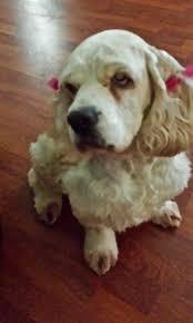 bichon frise 4 months old largo veterinary hospital veterinarian in largo florida pet of