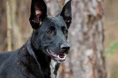 belgian shepherd labrador retriever mix belgian shepherd mixed breed dog stock photos images u0026 pictures