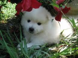 american eskimo dog washington state american eskimo puppies for sale