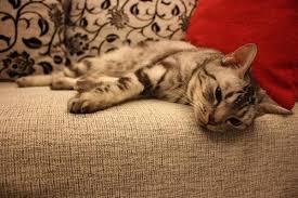 gatti divani evitare che il gatto graffi il divano animalpedia