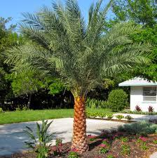 sylvester date palm tree impact palms