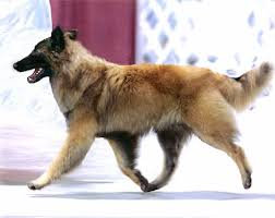 belgian sheepdog height gait abtc