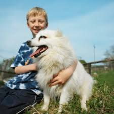 types of american eskimo dogs different sizes of american eskimo dogs dog care the daily puppy