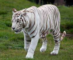 white tiger facts for kids yourkidsplanet com