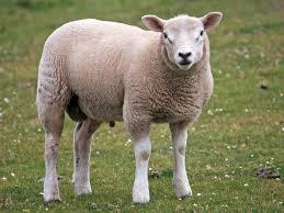 7 amazing benefits of sheep milk organic facts