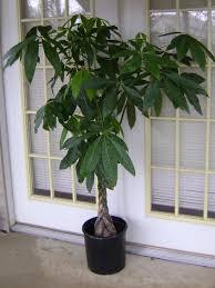 unhealthy money tree help