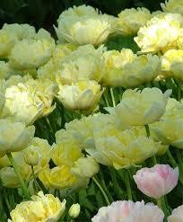 yellow peonies tulip yellow mountain peony flowering tulips tulips flower