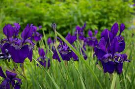 landscaping santa cruz ca landscaper spanish lavender idolza