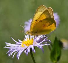 yellow butterfly on top of purple flower free image peakpx