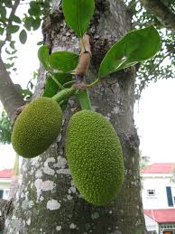 native american edible plants name that plant jackfruit tropical florida gardens tropical