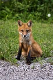 Tennessee wild animals images 259 best animals in the smokies images wildlife jpg