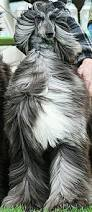 weimaraner vs afghan hound afghan hound those windswept locks rockin u0027 hairdos