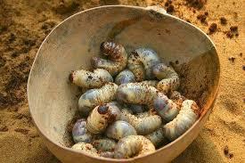 spécialité africaine cuisine les chenilles du congo une garantie de bien manger europe