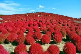 Autumn Flower Japan Tours And Packages Hitachi Autumn Flower Festival Fruit