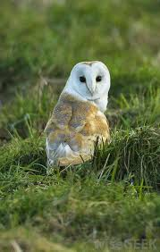 Barn Owls Habitat What Is The Best Owl Habitat With Pictures