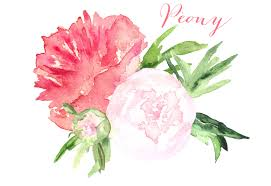 peony flowers peony watercolor clip graphics creative market