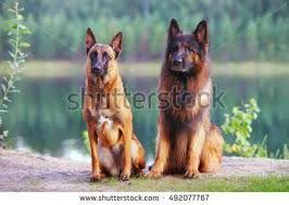 belgian malinois water malinois stock images royalty free images u0026 vectors shutterstock