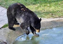 Are Bears Color Blind 20 Fascinating Facts About Nc Black Bears Wral Com