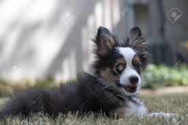 australian shepherd mini puppy miniature australian shepherd puppy dog lies in the grass his