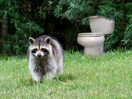 how raccoons turned our gardens into a toilet southwest journal