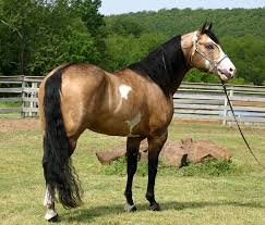 300 best american paint horse add a little color to your barn