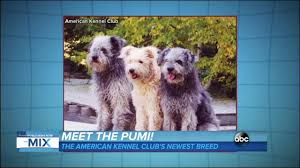 american kennel club introduces newest breed the pumi abc news