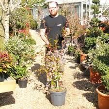 acer conspicuum flamingo snake bark maple big plant nursery