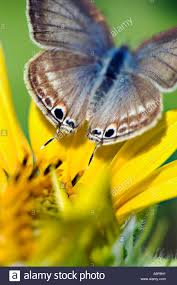 small blue butterfly on a sunflower plant in india stock photo